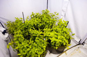 32 days-spearrmint 4 plants per 10 gallon tub