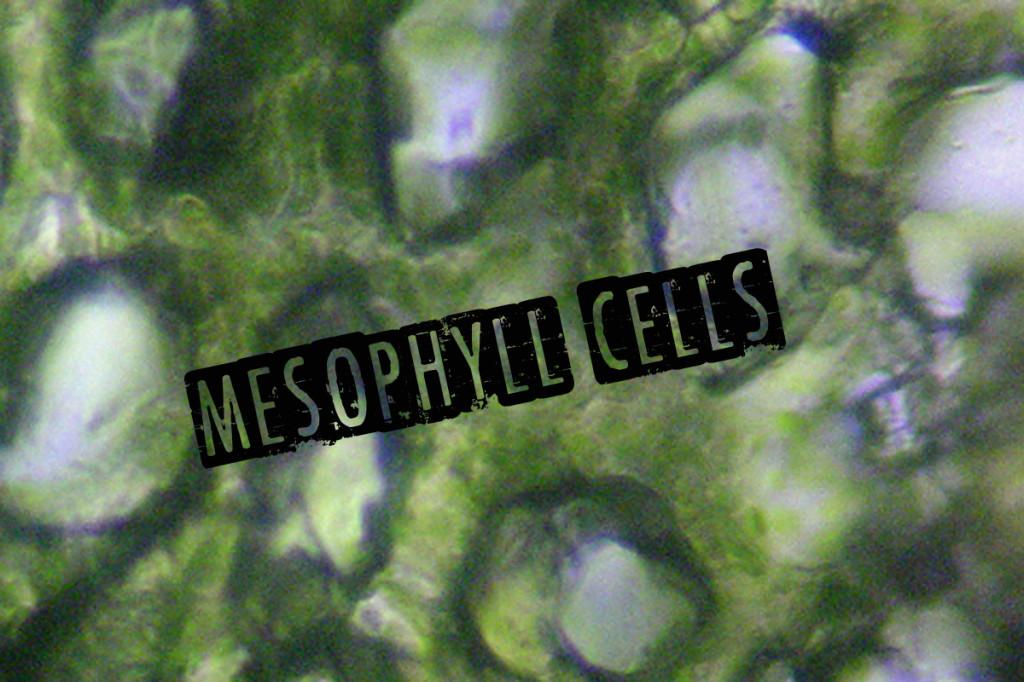 Leaf_spongy_mesophyll