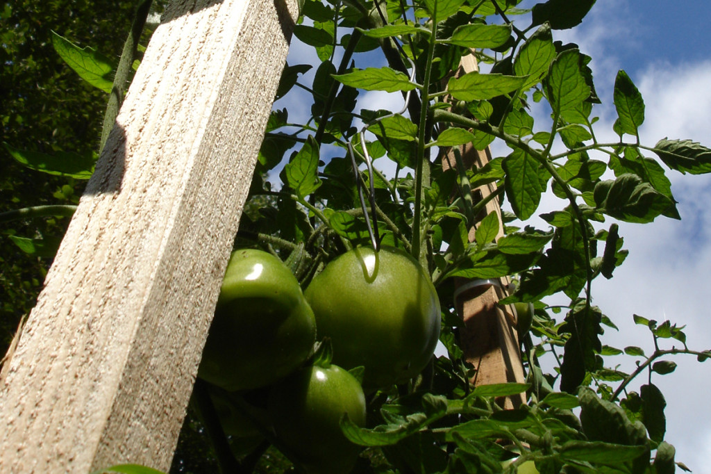 organic garden tomatoes