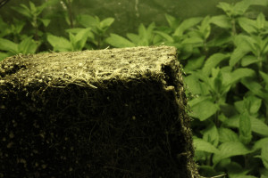 32 days-spearmint roots at transplant